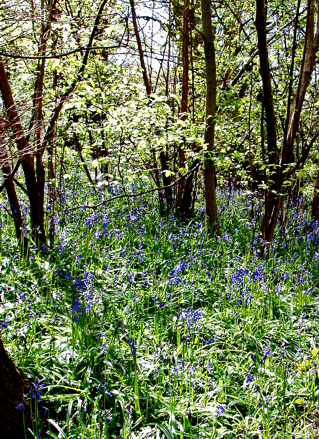 Bluebells in Middleton Park