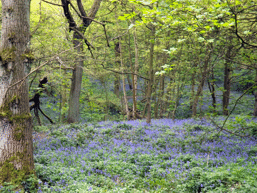 bluebells in the park